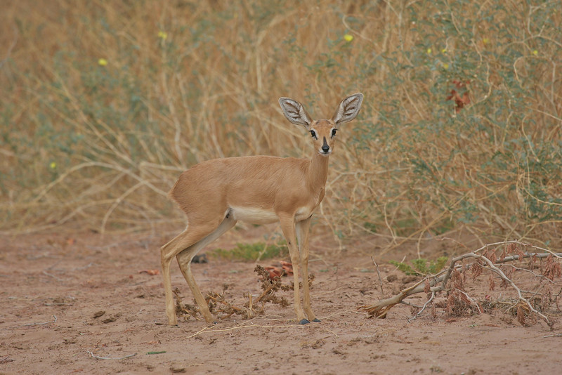 Steenbok in Damaraland