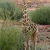 Desert Giraffe,  Damaraland