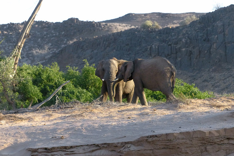 422 Desert Elephants, Damaraland