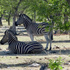 Plains Zebras, Ongava Game Reserve