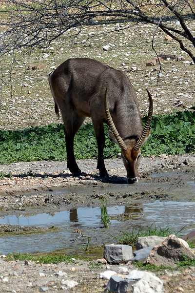 Waterbuck, Anderrsons Camp