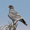 Adult Pale Chanting Goshawk, Ongava reserve