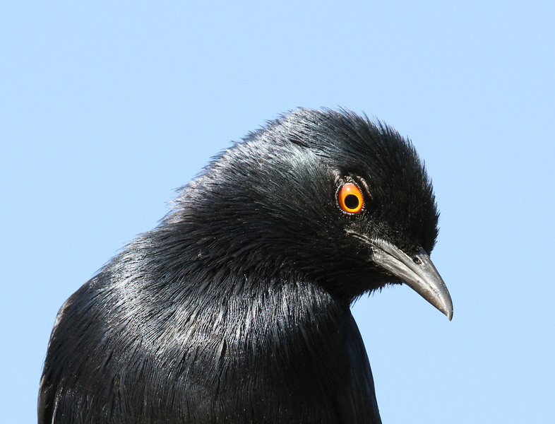 Pale-winged Starling in Serra Cafema camp on the Kunene River