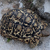 Leopard Tortoise, Anderssons Camp