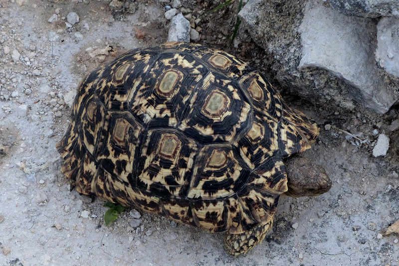618 Leopard Tortoise, Anderssons Camp