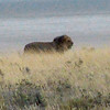 605 Lion, Etosha National Park