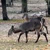 619 Waterbuck, Etosha National Park