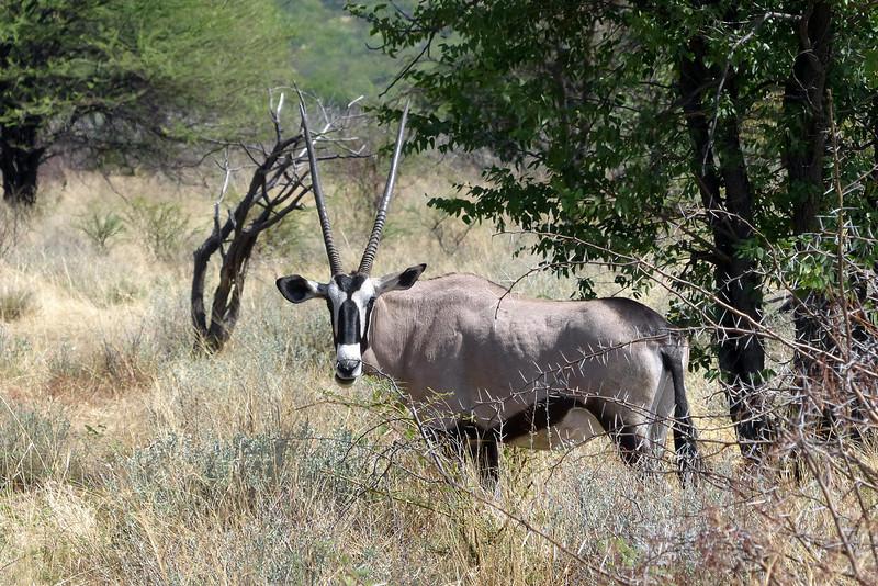 646 Oryx, Ongava Game Reserve
