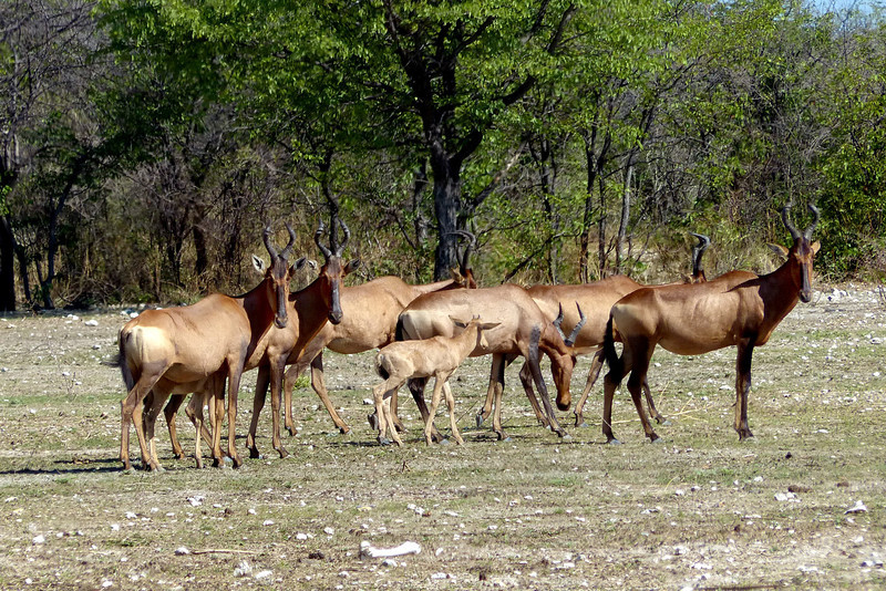 660 Red Hartebeest, Ongava Game Reserve
