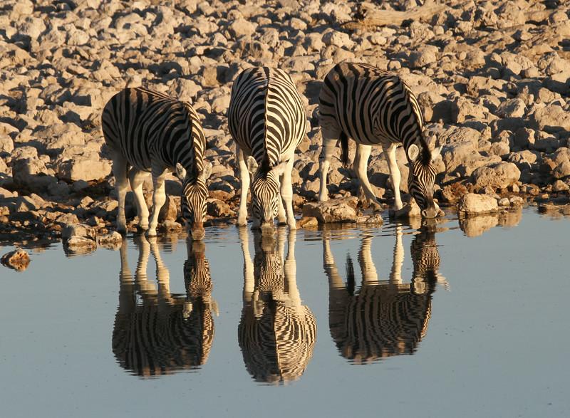 Six Zebra!