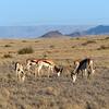 091 Springbok, Namib Desert