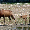 654 Red Hartebeest, Anderssons Camp