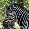 638 Plains Zebras, Ongava Game Reserve