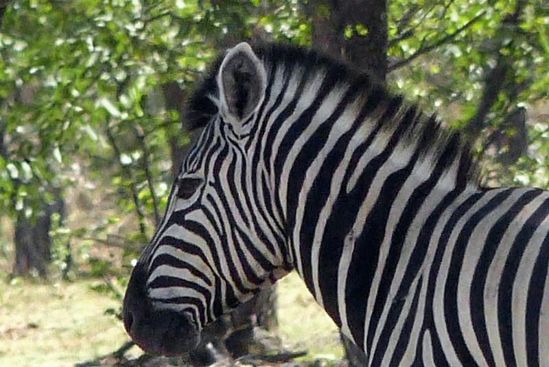 638 Plains Zebras, Ongava Game Reserve