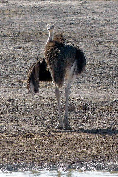 Ostrich, Etosha National Park