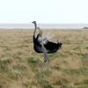 598 Ostrich, Etosha National Park