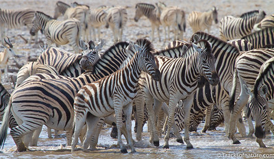 Zebra herd at waterhole, Etosha National Park