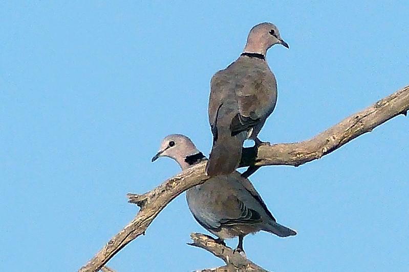 169 Cape Turtle Dove, Namib Desert