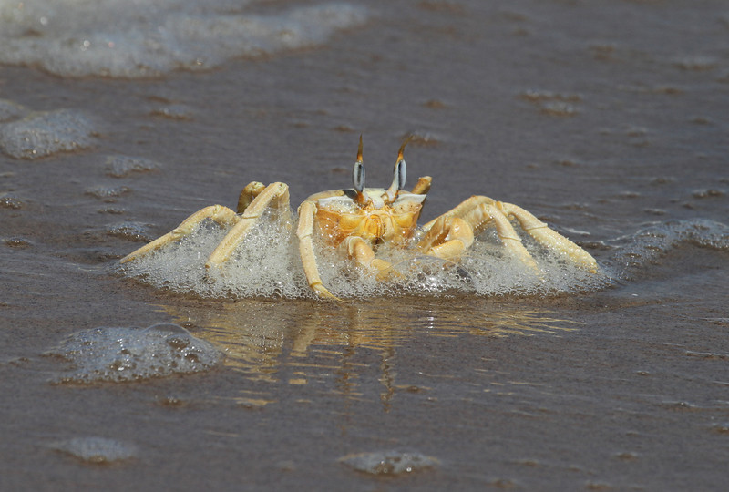 Surfing Ghost Crab on the Skeleton Coast
