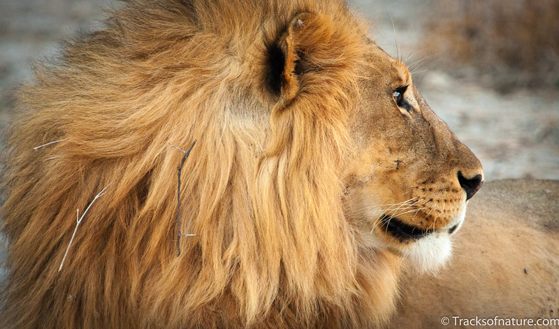 Golden-maned lion, Etosha National Park