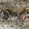 585 Leopard, Etosha National Park