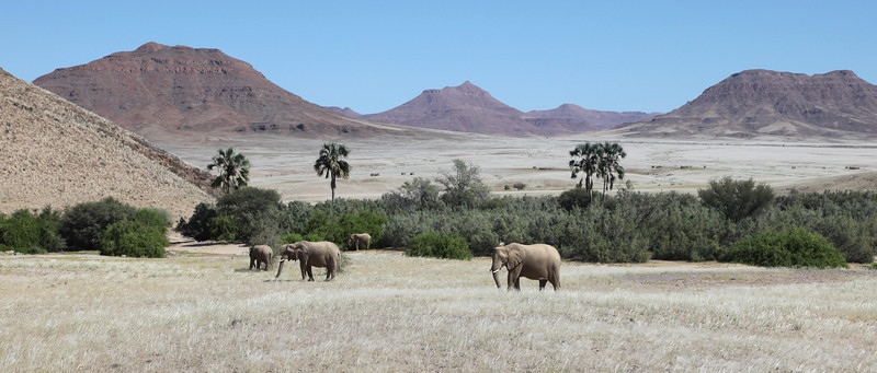 Desert-adapted Elephants in the Hoarusib river bed near the Skeleton Coast Park
