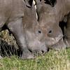 672 White Rhinos, Ongava