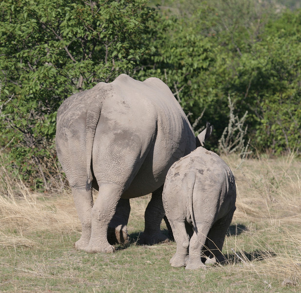 Female White Rhino with her calf, Ongava Reserve