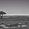The lonely tree at the Etosha pan