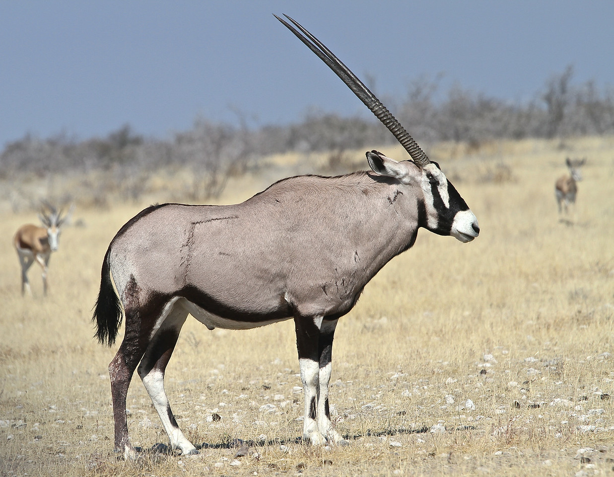 Male Gemsbok with scars and horns
