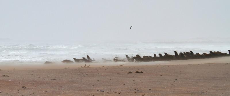 Cape Fur Seals near Cape Frio