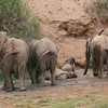 Desert-adapted Elephants in the Huab river bed in Damaraland - they had just found this small amount of water