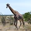 Giraffe, Etosha National Park