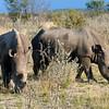 674 White Rhinos, Ongava