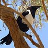 Pied Crow at Sossusvleli Sand Dunes