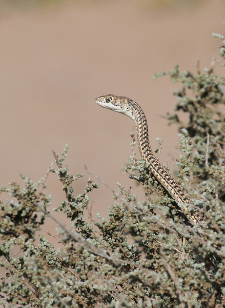Namib sand snake in the Skeleton Coast