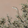 Namib sand snake in the Skeleton Coast
