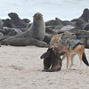 A Black-backed Jackal with the carcass of a Cape Fur Seal at Cape Frio