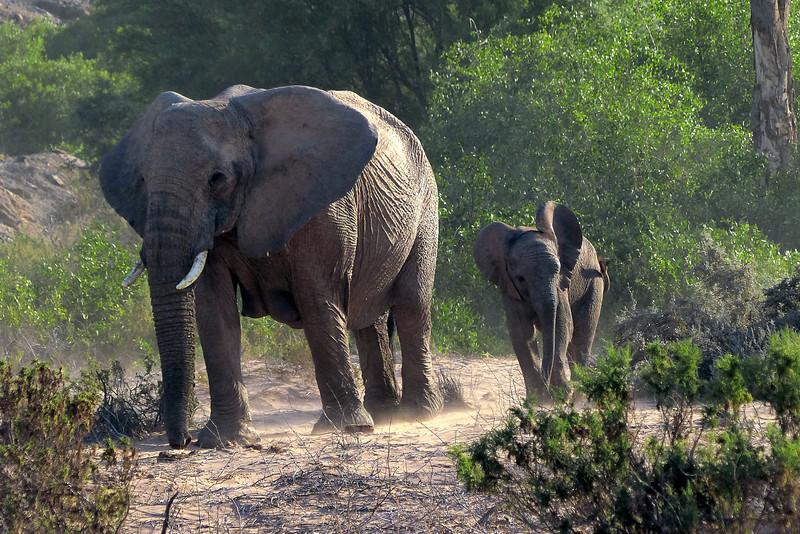 414 Desert Elephants, Damaraland