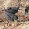 527 Guinea Fowl, Damaraland
