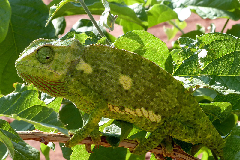 692 Chameleon, Anderssons Camp