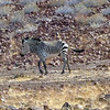Hartman's Mountain Zebra, Damaraland