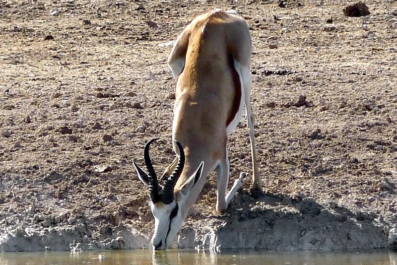 560 Springbok, Etosha National Park
