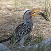 Yellow-billed Hornbill with dinner!