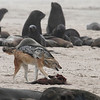 A Black-backed Jackal guarding a Fur Seal pup carcass at Cape Frio