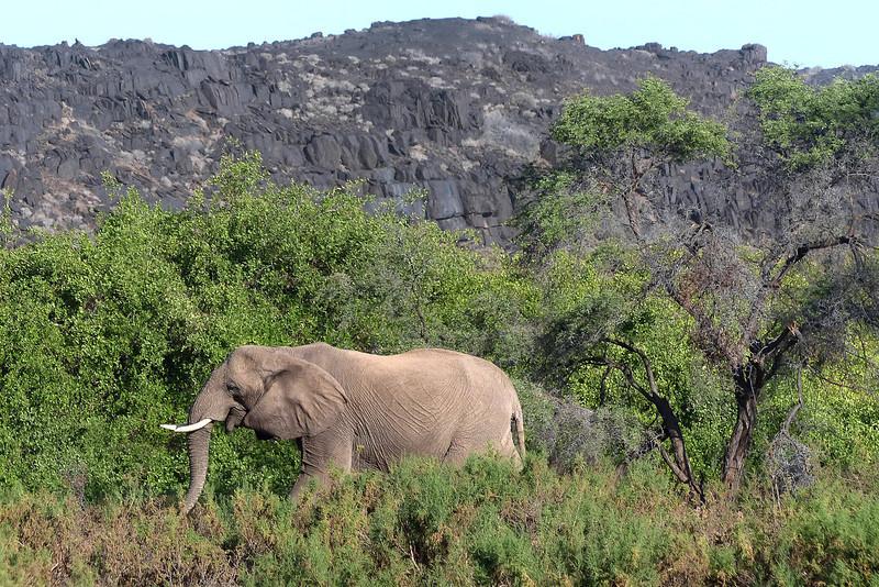 411 Desert Elephant, Damaraland