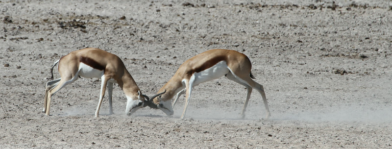 Young male Springbok - trying it on!