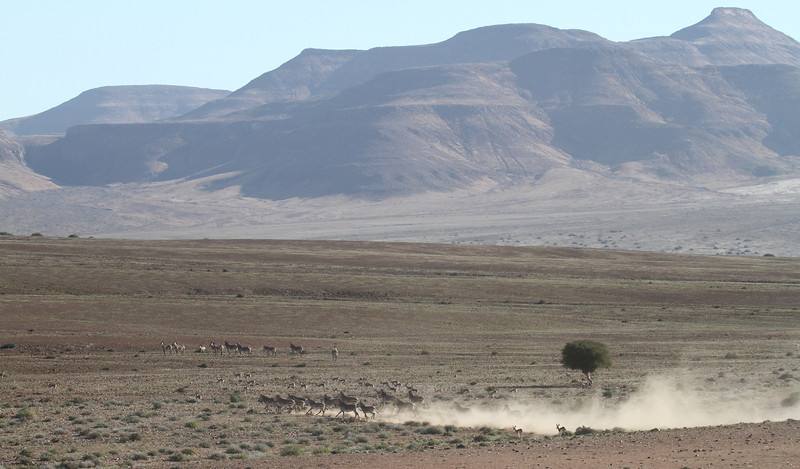 Hartmann's Mountain Zebra in the Skeleton Coast Park