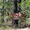 651 Impala, Ongava Game Reserve