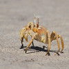 Ghost Crab on the Skeleton Coast